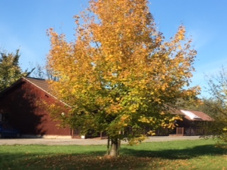 Photo of tree in front of lodge in autumn colours
